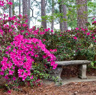 Photo of azalea bushes in bloom on campus duing the spring